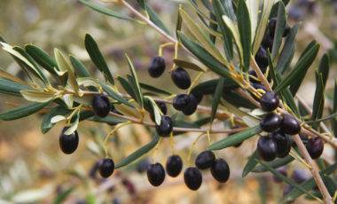 Olive Oil Tree - Bulk by CHO